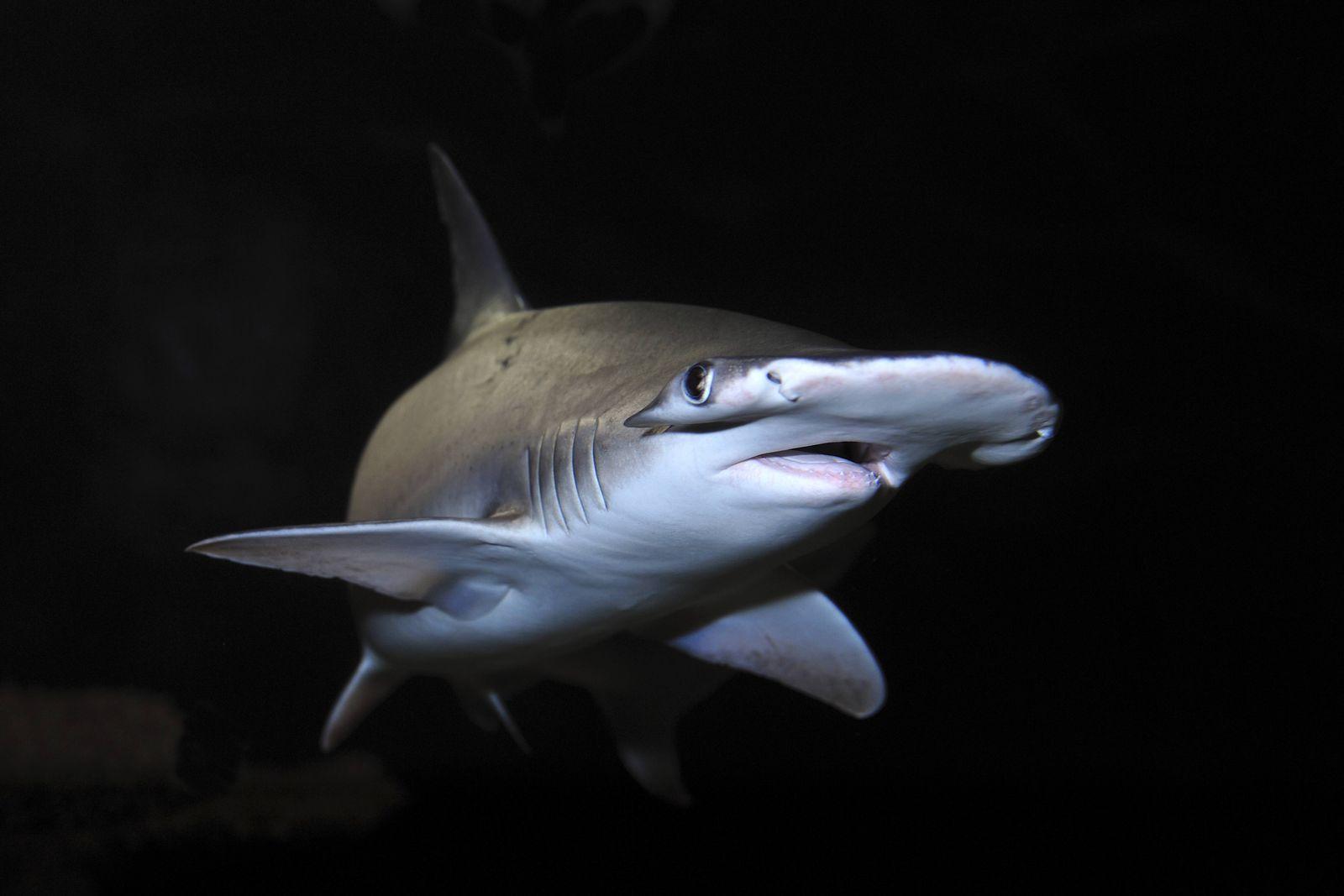 EINMALIGE VERWENDUNG Sphyrna tiburo