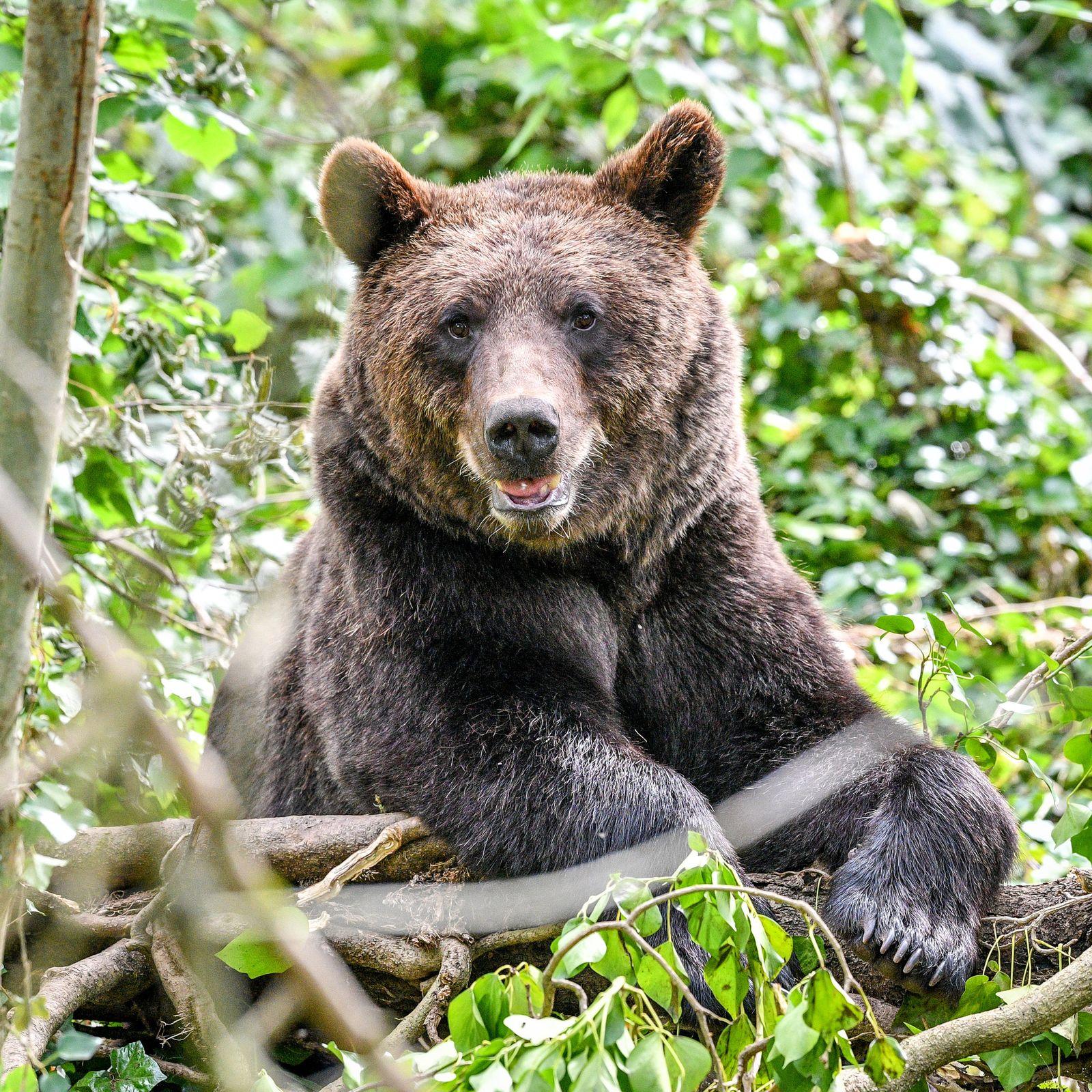 Braunbären in Großbritannien