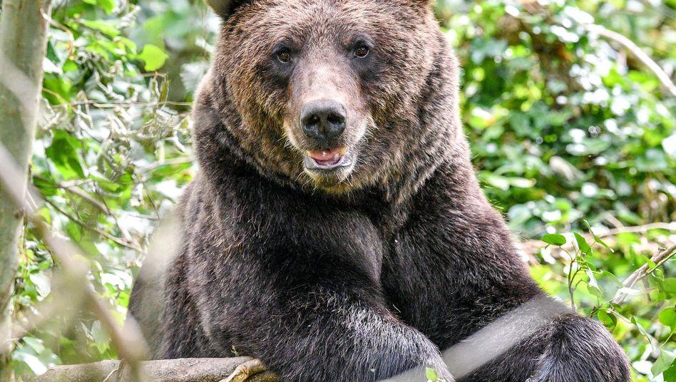Europäischer Braunbär (Archivfoto)