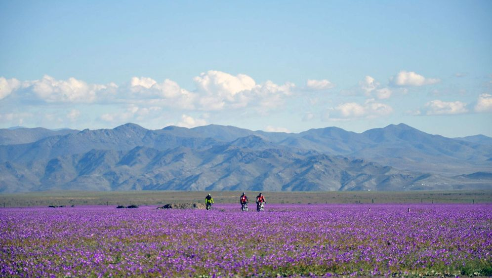 Wetterphänomen: El Niño lässt Atacama-Wüste blühen