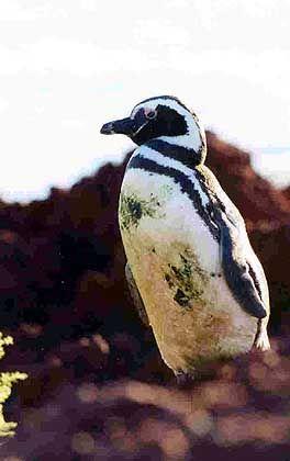 Kleine Beißer: Am Punta Tomba lebt die größte Pinguinkolonie Südamerikas