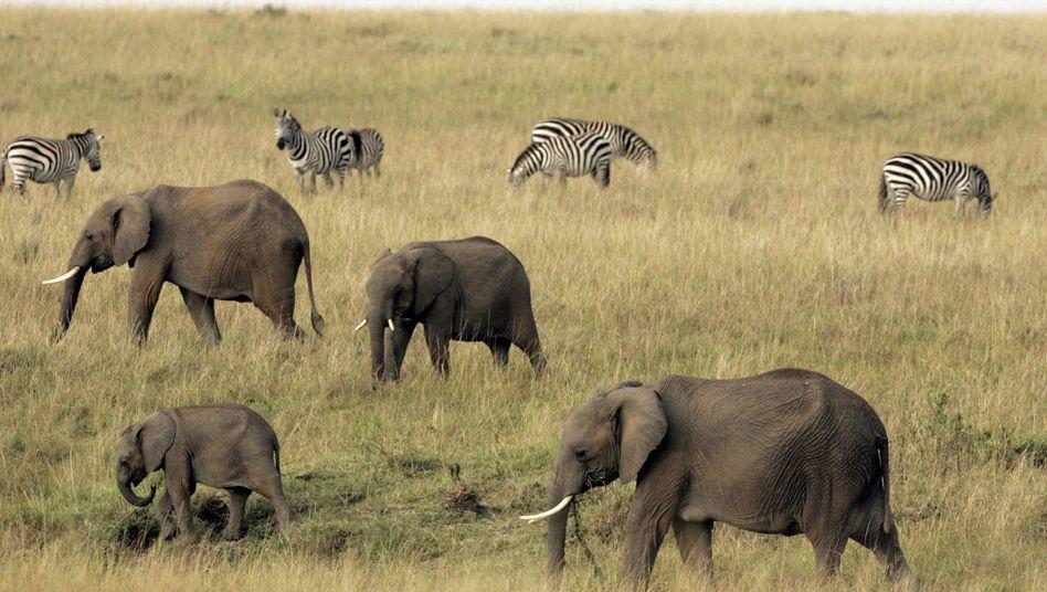 Elefanten in Kenia: Beim Gebrüll eines männlichen Löwen in Alarmbereitschaft