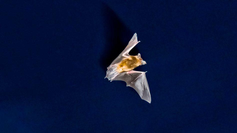 Fledermaus im Anflug: Vom Klimawandel profitieren nur bestimmte Exemplare