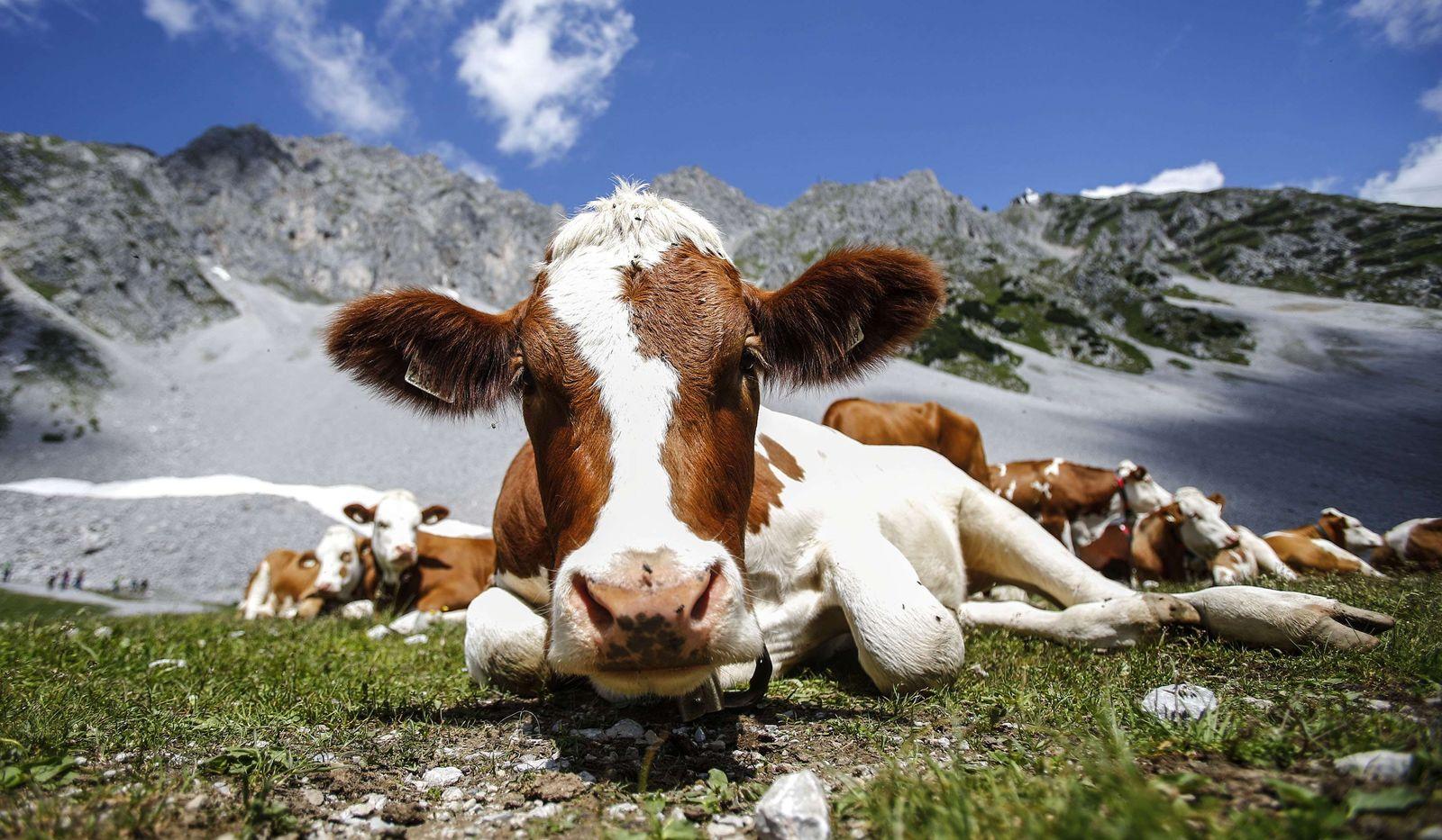 Österreich/ Kühe