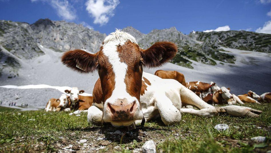 Friedliche Kühe in Österreich