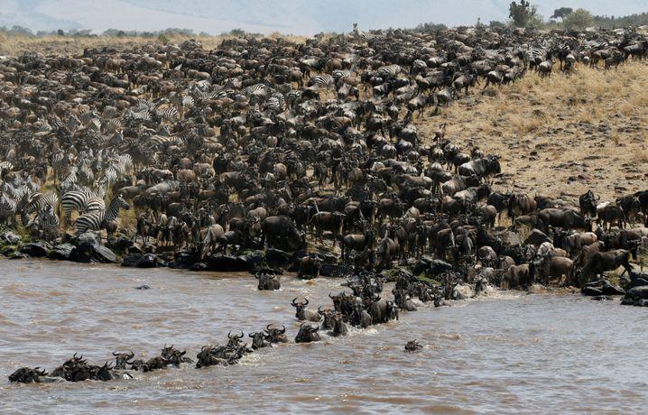 """Naturspektakel: Die """"Great Migration"""" der Serengeti-Herden"""