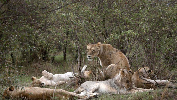 Löwe, Luchs und Wolf: Der ökologische Wert der Räuber