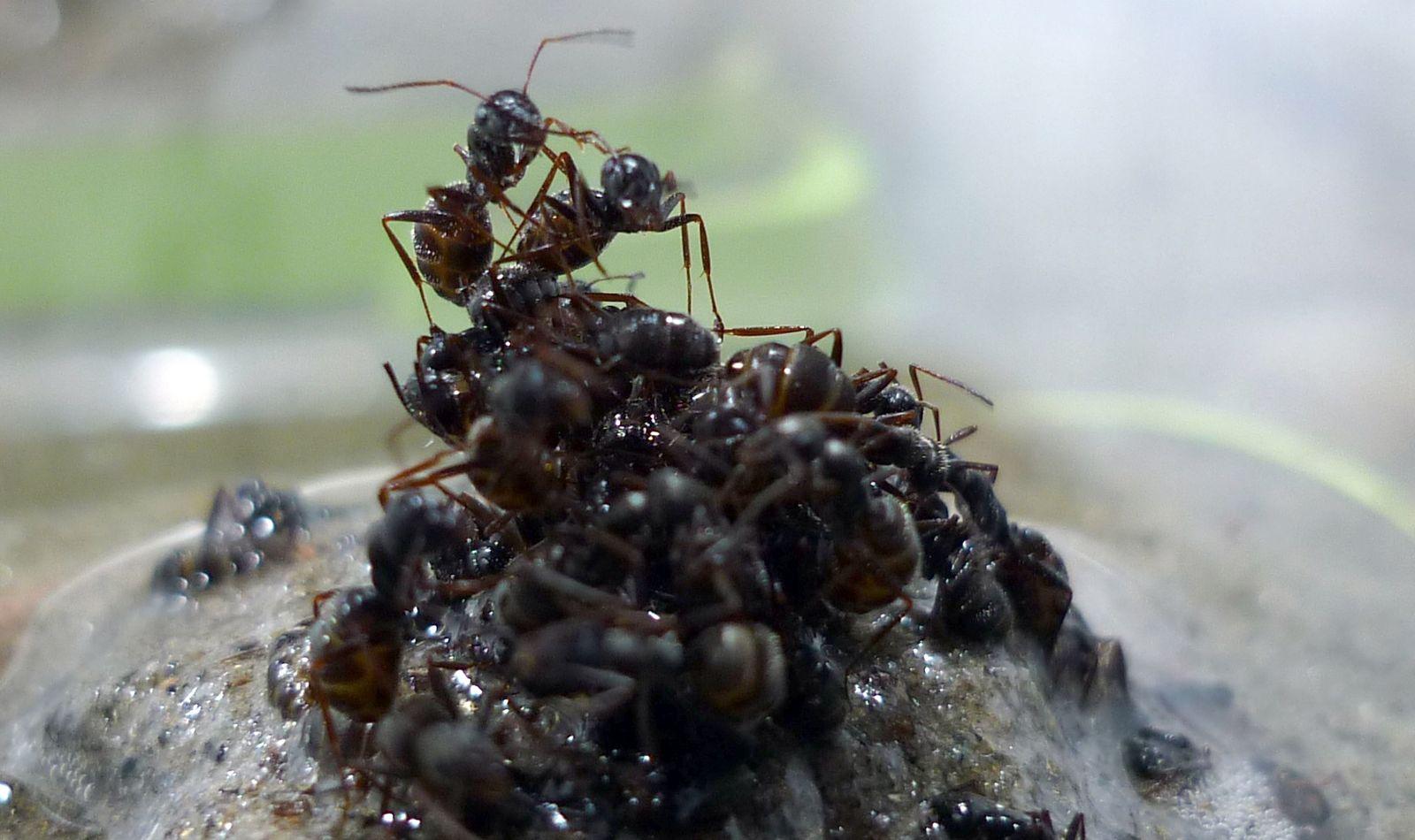 EINMALIGE VERWENDUNG Ameisen / Floß