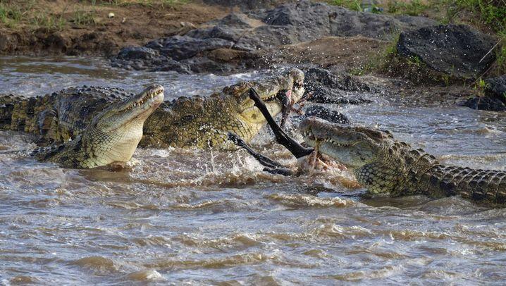 Tödliche Wanderung: Ein Gnu in den Fängen der Krokodile
