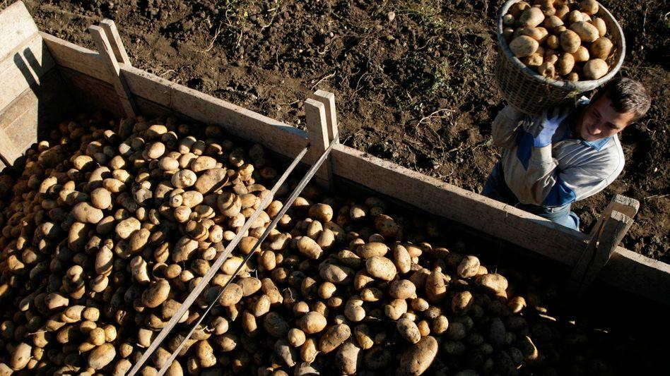 Bei der Kartoffelernte (im Kosovo, Archivbild)