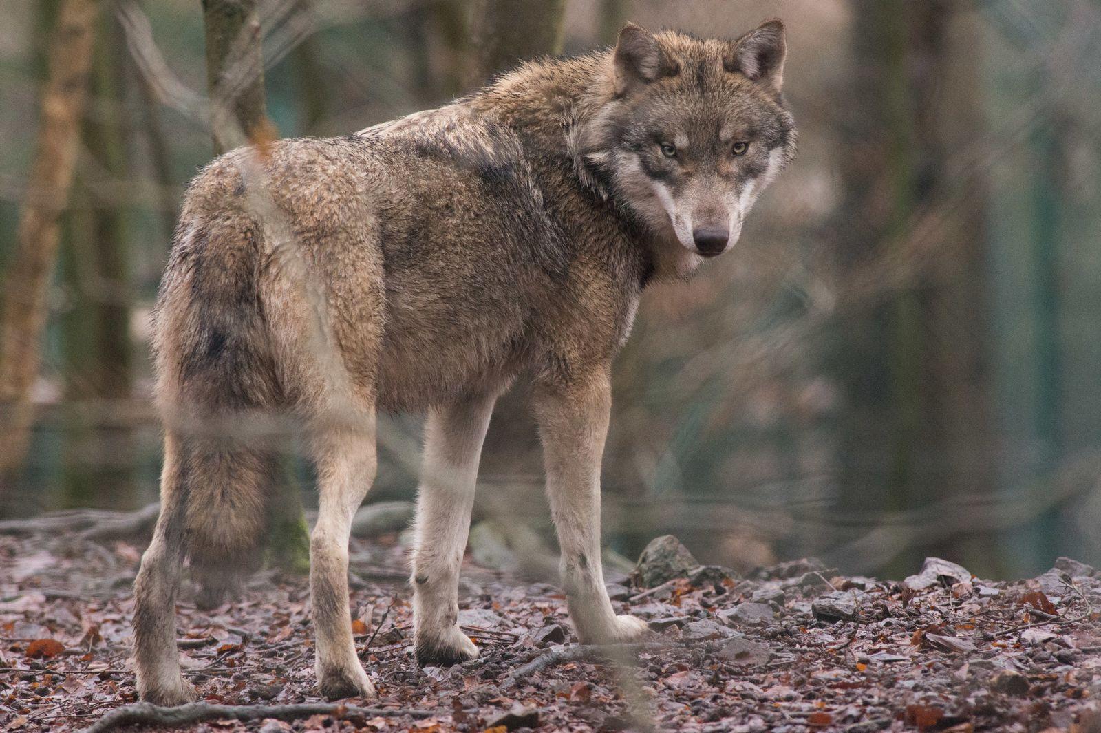 Halbes Jahr neue Leitlinie Wolf