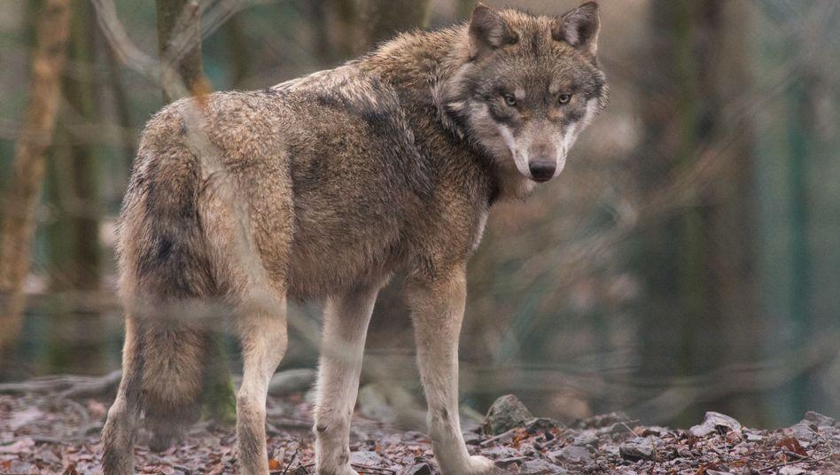 Ein Wolf (in einem Tierpark in Sachsen-Anhalt, Januar 2018)