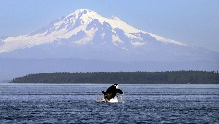 Schwertwale: Im Fortpflanzungswettkampf mit Oma