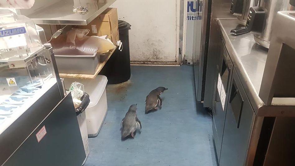 Pinguine nisten sich unter einer Sushi-Bar in Wellington ein