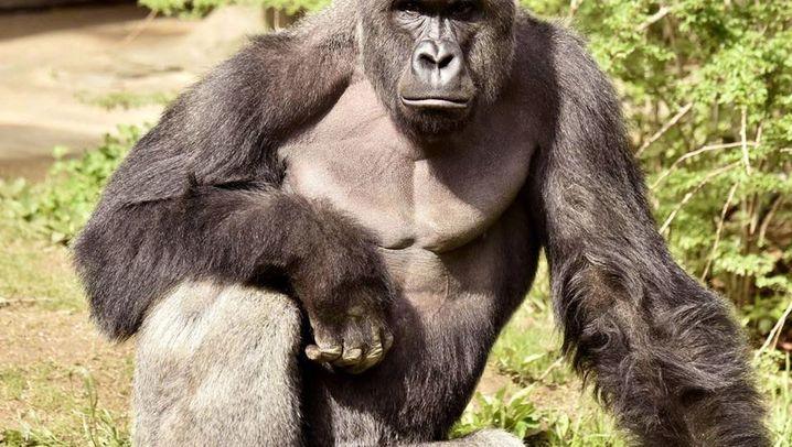 Zoo-Gorilla: Harambes Ende