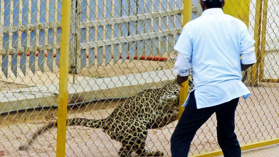 Leopardenjagd im Schulhof: Das Einfangen dauerte 12 Stunden
