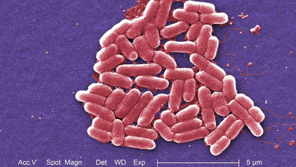 Ehec-Bakterien: Erbgutvergleiche liefern Hinweis auf Evolution der Erreger