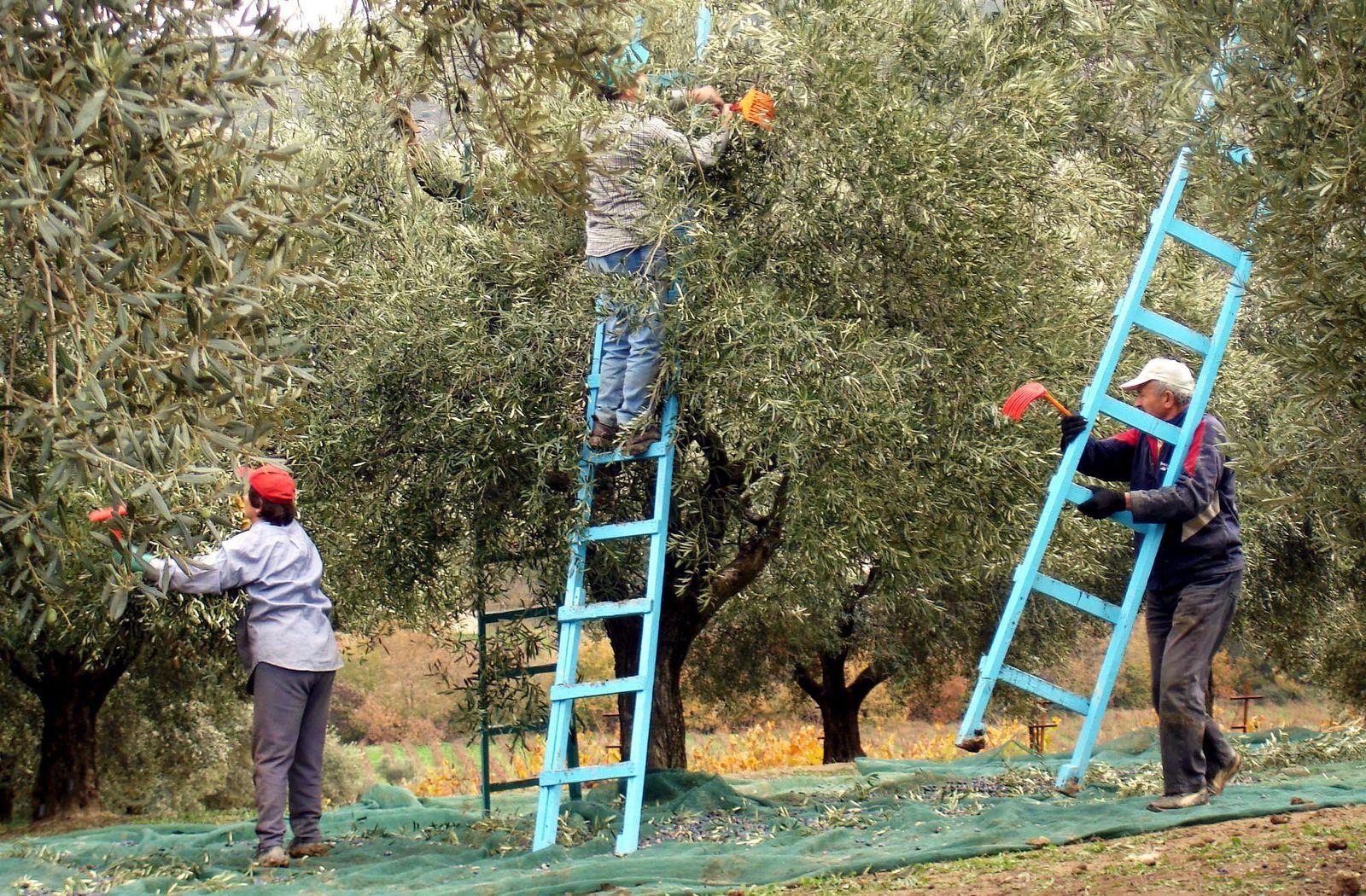 Olivenöl / Olivenernte in Griechenland / Oliven / Olivenernte