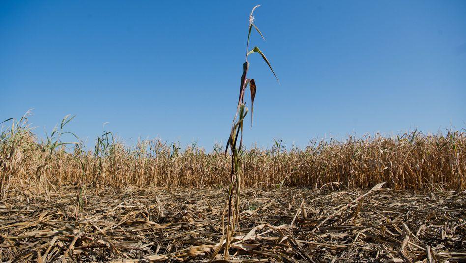 Ein ausgetrocknetes Maisfeld
