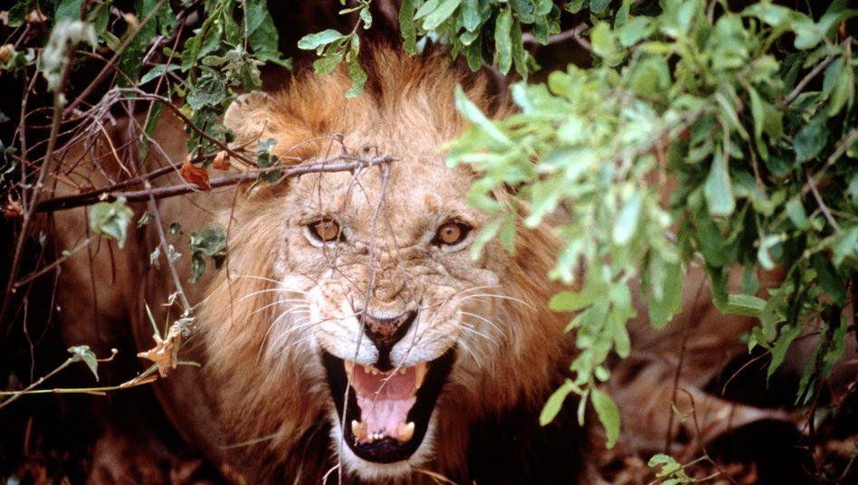 Löwe in Tansania (Archivfoto von 1998): Isotope verraten Ernährungsgewohnheiten