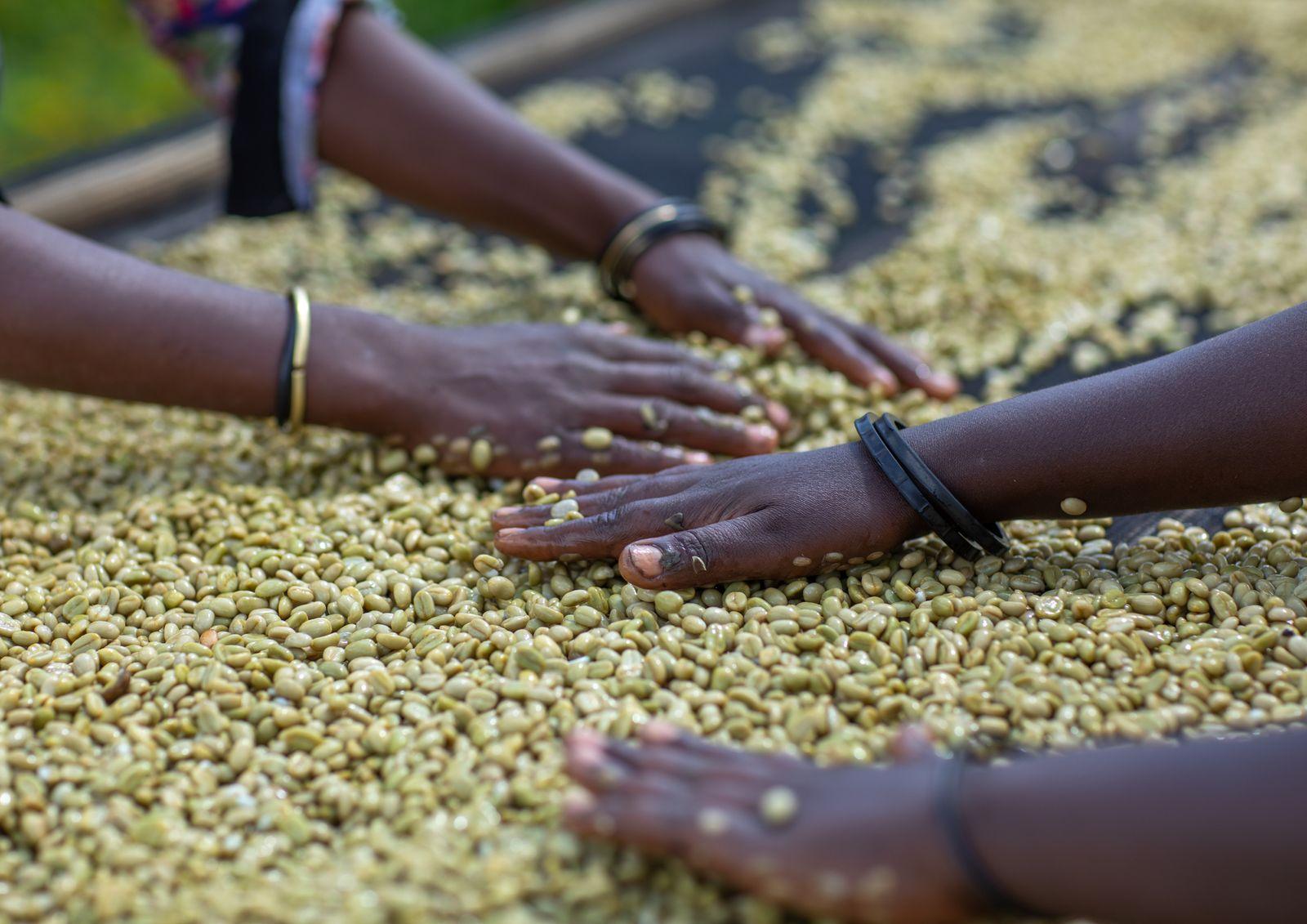 Ethiopian women drying coffee beans in a farm, Oromia, Shishinda, Ethiopia