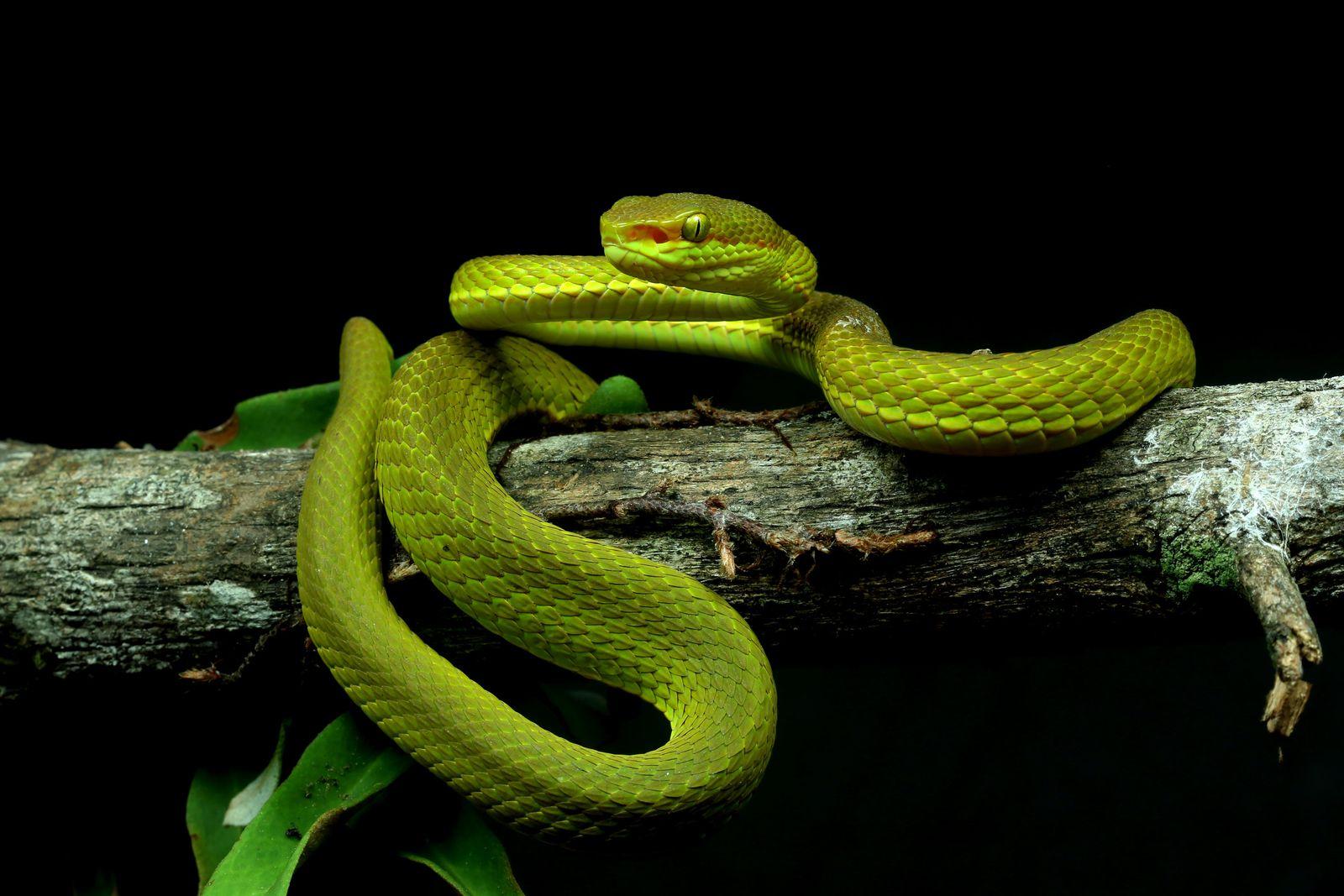 Forscher benennen Schlange nach Salazar Slytherin