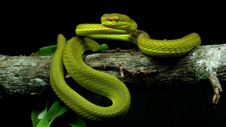 """Neu entdeckte Schlange (undatierte Aufnahme), die von indischen Forschern Trimeresurus salazar, nach Salazar Slytherin aus """"Harry Potter"""", benannt wurde"""