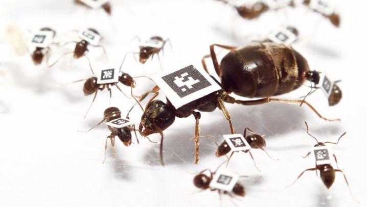 Infektionsschutz bei Ameisen: Epidemie in der Kolonie