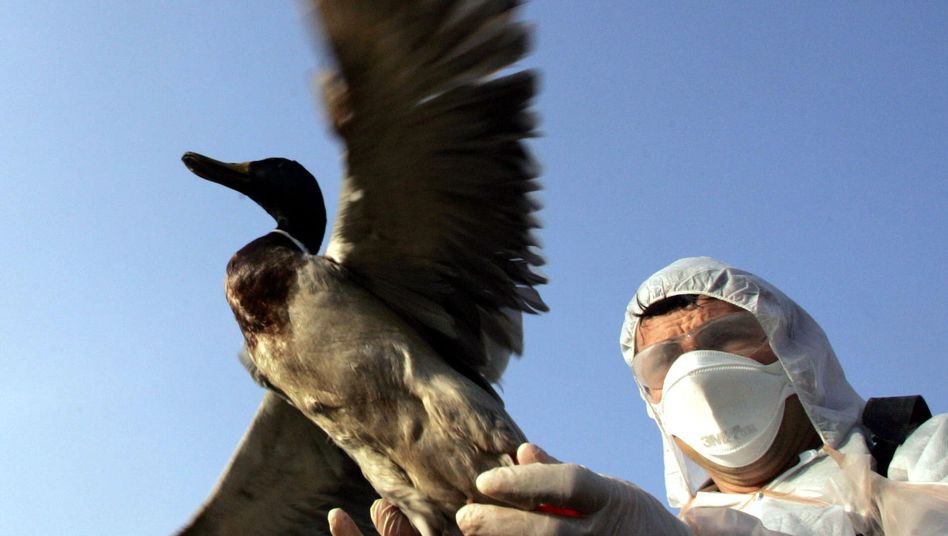Vogelgrippe-Forschung in Frankreich (2006): Hat die WHO ein falsches Bild vom Virus?