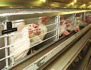 Tierschützer sind empört: Legehennen-Batterien