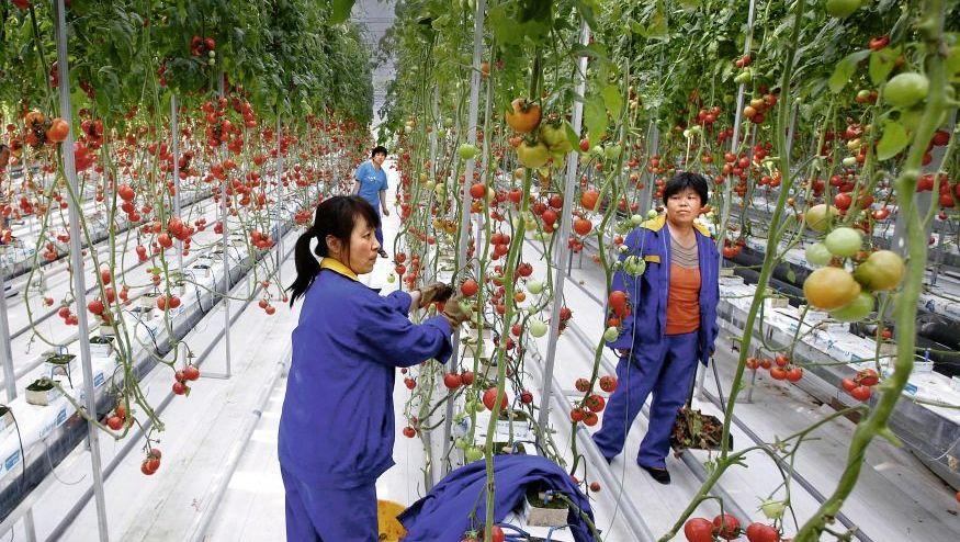 Tomatenpflückerinnen in Shouguang, China