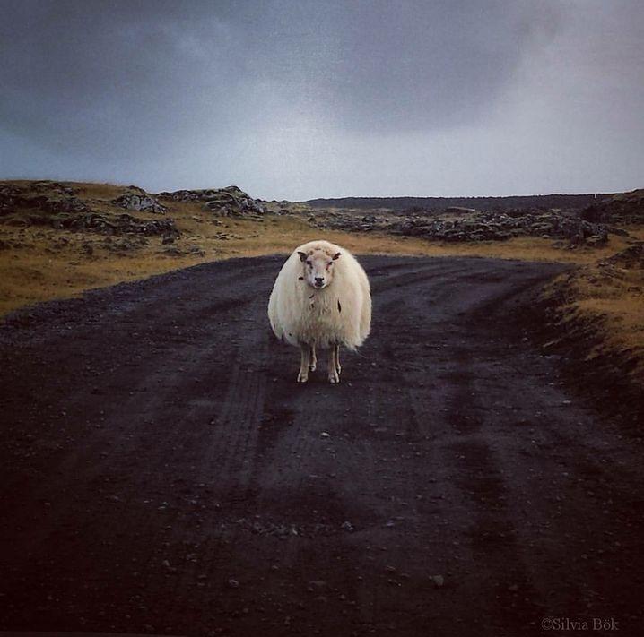 Schaf auf einer Straße in Island
