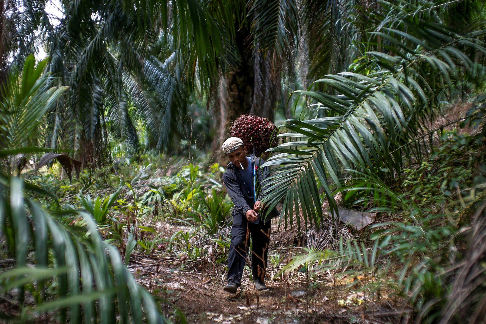 FILE PHOTO: Indonesian worker Abdul Rahim Gani carries oil palm fruits at Felda Bukit Cerakah in district of Klang outside Kuala Lumpur