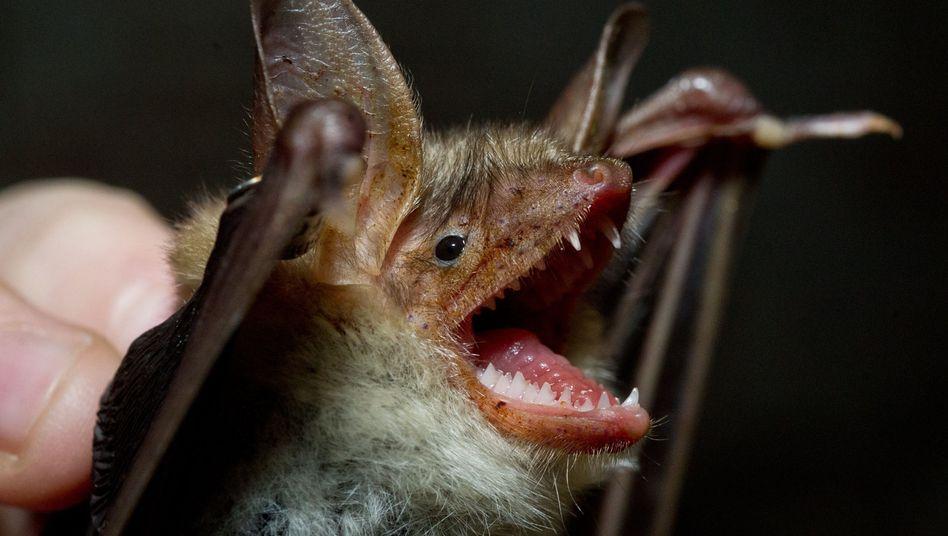 Fledermaus: Vielfacher Nutzen für die Landwirtschaft