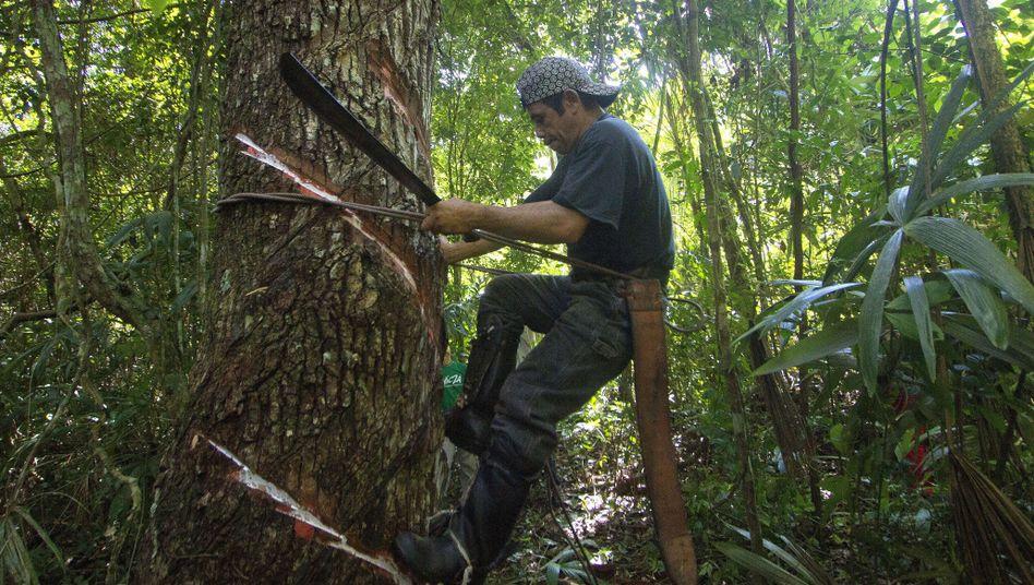 Natürlicher Kaugummi: Gewinnung von Chicle in Mexiko an einem Breiapfelbaum, auch Sapotillbaum genannt