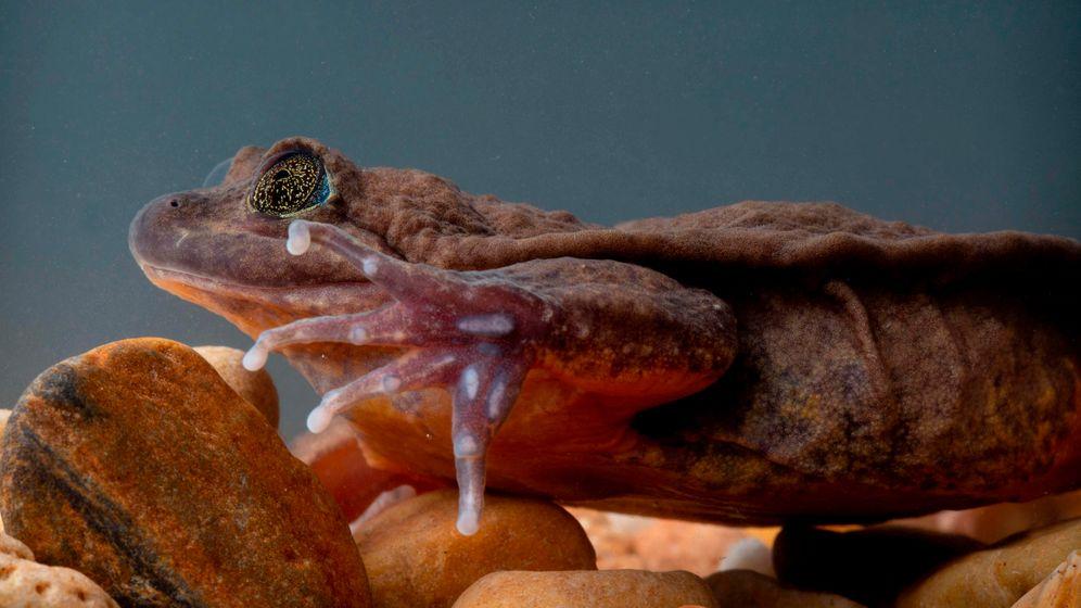 Einsamster Frosch der Welt: Ein Date für Romeo
