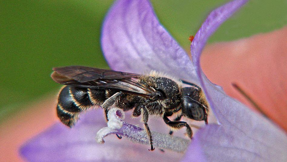 Glockenblumen-Scherenbiene auf einer Blüte