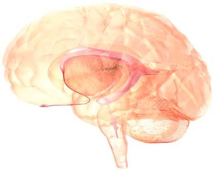Zarte Verbindung: Die pinken Strukturen sind die Hirnkammern mit Nervenwasser. Von dort reicht ein dünner Schlauch bis zum Riechkolben, der vorn unterhalb des Großhirns liegt.