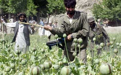 An Afghan government official, left, and two Afghan National Army soldiers cut down opium poppies.