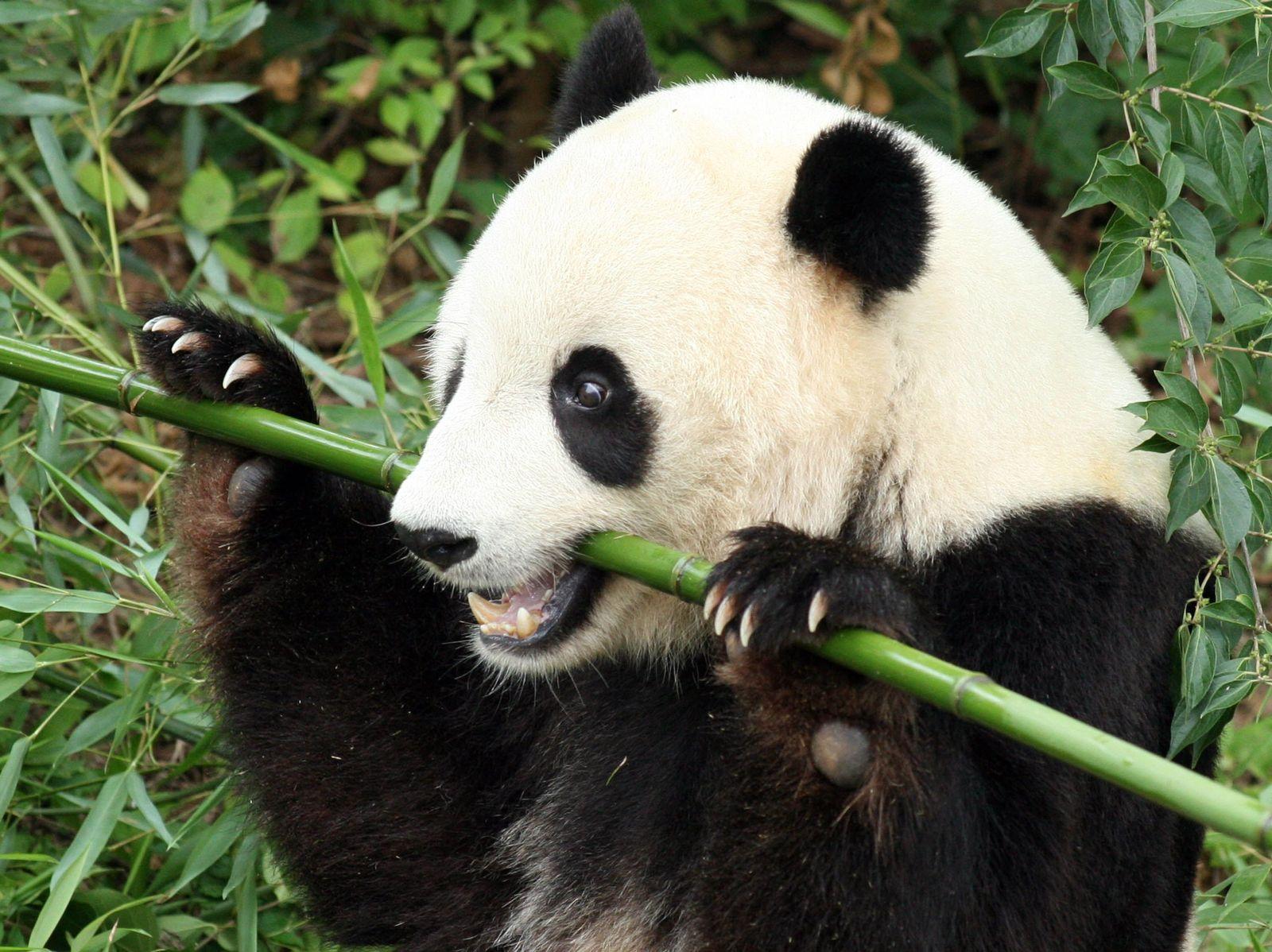 Panda / Bambus