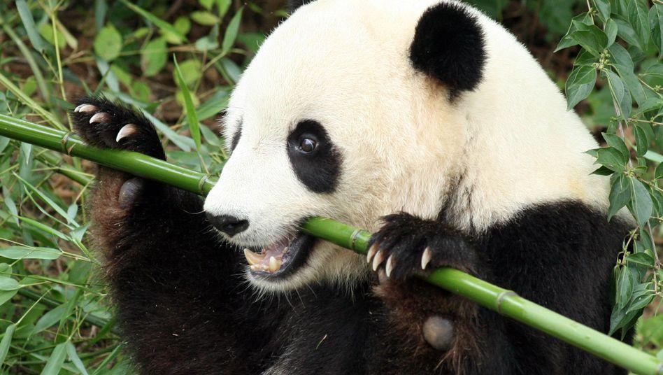 Panda im Washingtoner Zoo: Bambus ist nur schwer verdaulich