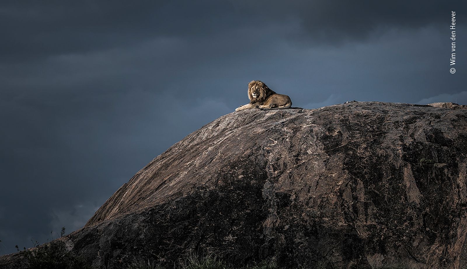 Lion king by Wim van den Heever, South Africa