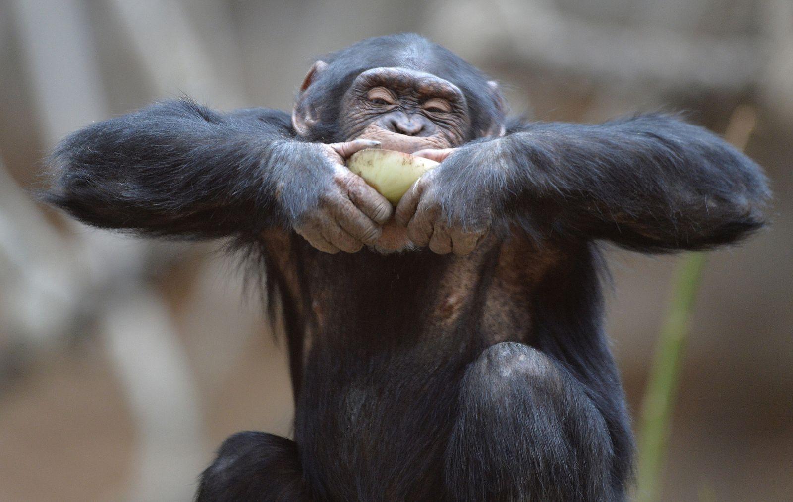 Schimpanse / Zwiebel