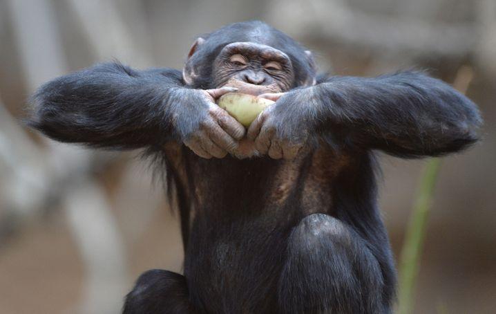 Das schmeckt: Affen sind bereit, auf ihr Futter zu warten