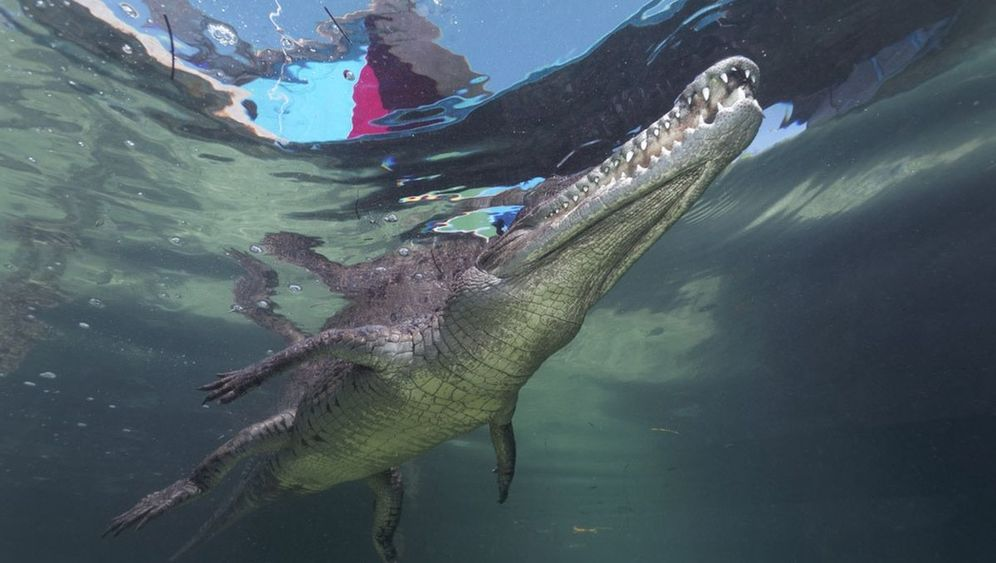 Tauchen vor Kuba: Krokodilstränen mit Kamera