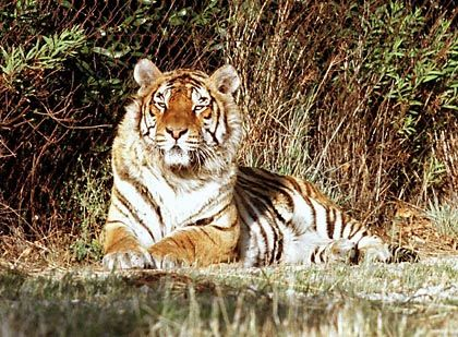 Bengal tigers are dangerous neighbors for people living in the Sundarbans, a lush wetland area of Bangladesh. As the wetland mangrove forests are reduced -- due to both man and rising sea levels -- the tigers' habitat shrinks, pushing them closer to people.