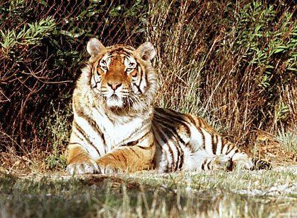 """Bengalischer Tiger (Archivbild): Schutzmaßnahmen laut WWF """"absolut ungenügend"""""""