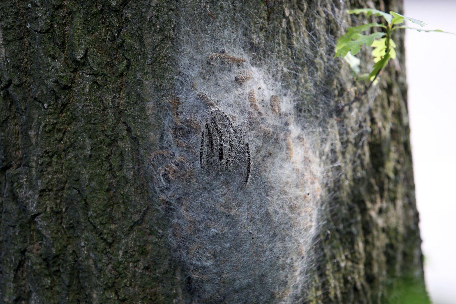 Raupen vom Eichen-Prozessionsspinner