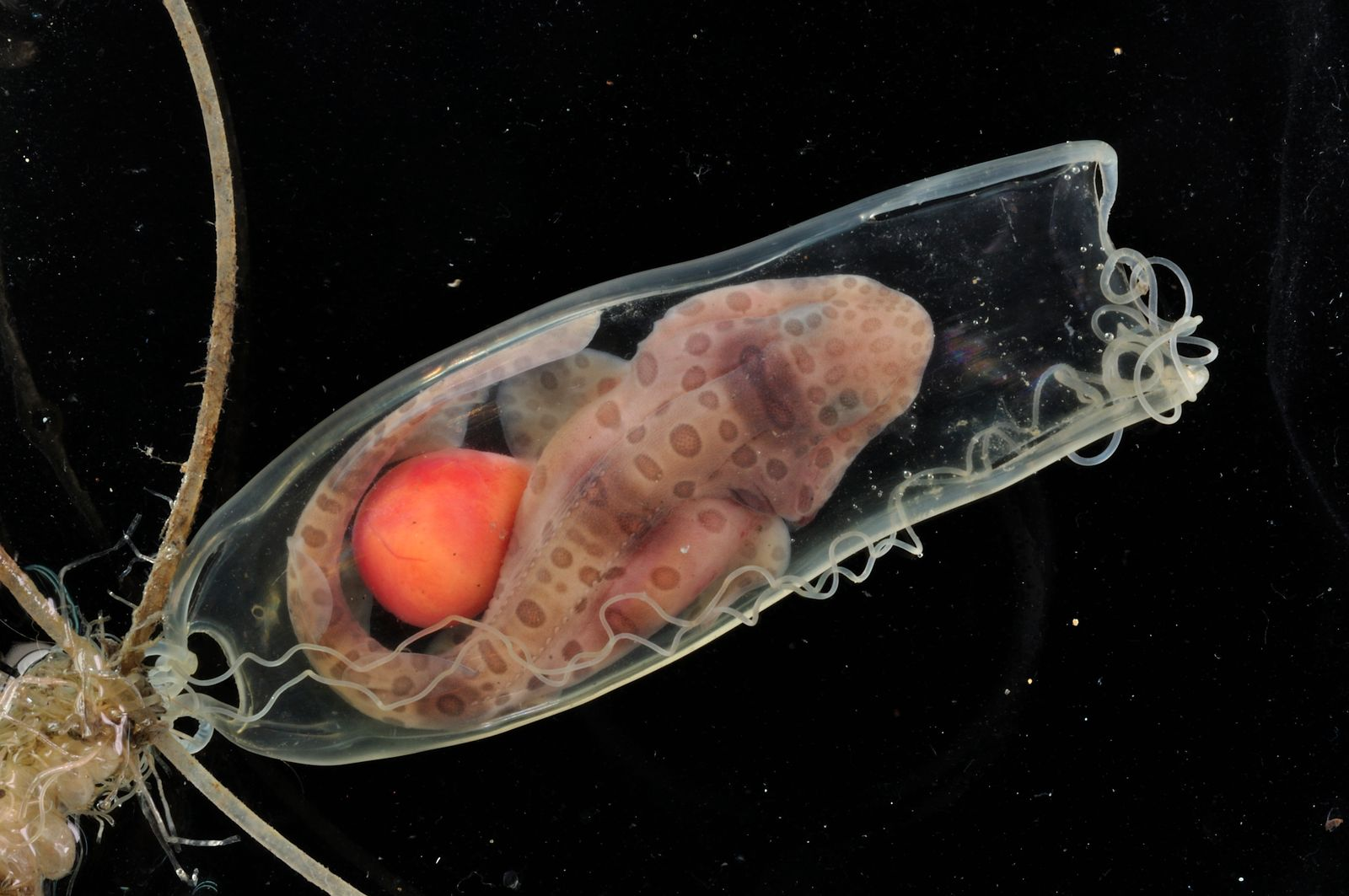 Cephaloscyllium_sarawakensis_egg_and_embryo_by_Dr._Cheng-Chang_Lee_3520