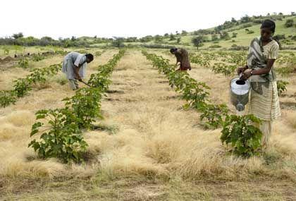 Jatropha-Feld in Indien: Wichtige Erfahrungen für ökologische Krisenregionen